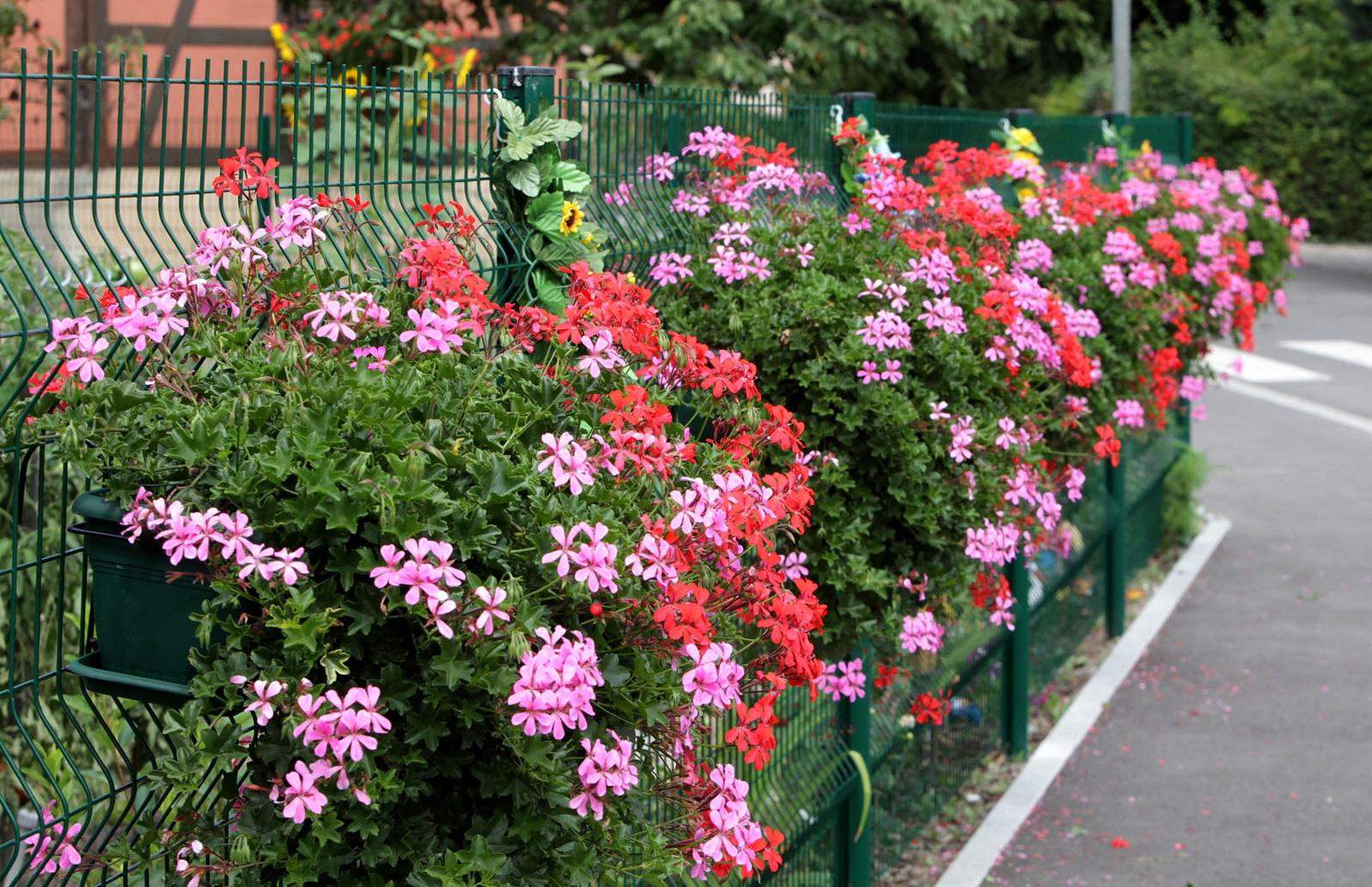 Rangée de fleurs à Colmar